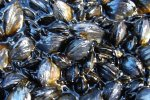 shellfish-colony-pollack-hls-1march-2010-crop