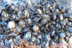 shellfish-colony-pollack-hls-1march-2010